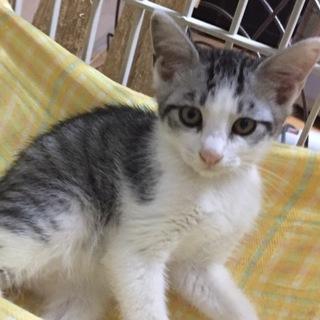銀髪のシーバ★2ヶ月半★♂美猫です