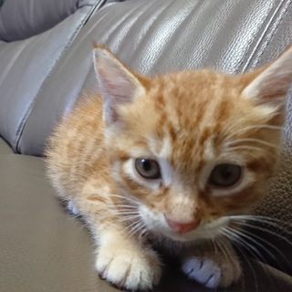 茶トラの子猫(生後一か月程度)の家族募集!
