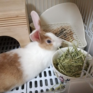 ミニウサギ(4か月)2羽