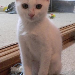 しっぽが黒い白猫女子 マロ