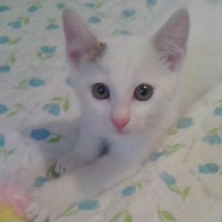 しっぽが黒い白猫男子 ミロ