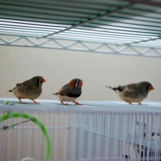 錦華鳥(キンカチョウ)オス一羽 メス二羽 兄弟です