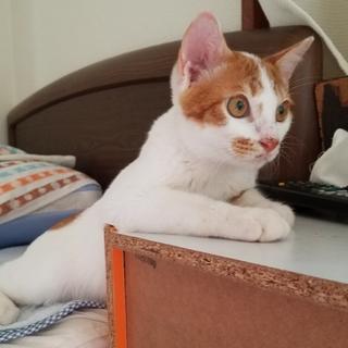 ワクチン済!生後3ヶ月の白茶の子猫