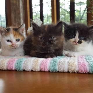 生後1か月 子猫の3兄妹