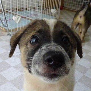 MIX子犬2か月パズー♂