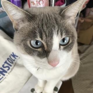 ブルーアイのおっとりお利口白猫