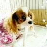 キャバリアの子犬♡澪(ミオ)ちゃん