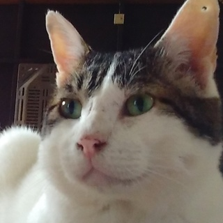オットリとした性格猫です。