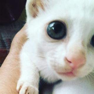真っ白 子猫 雄