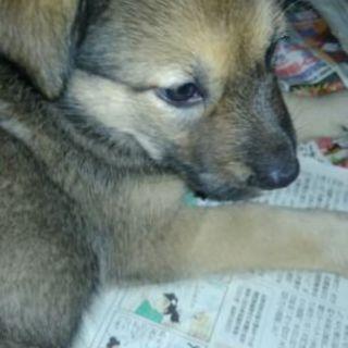 ゴールデンミックス2か月半子犬♀1匹