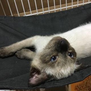 愛媛県保健所から保護した仔猫シャム、ブルーアイ