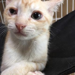 愛媛県保健所から保護した仔猫/綺麗な茶トラ