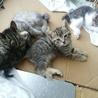 ☆生後約1ヶ月半 子猫4匹 募集中!☆