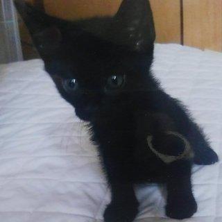緊急猫の赤ちゃん里親募集します。