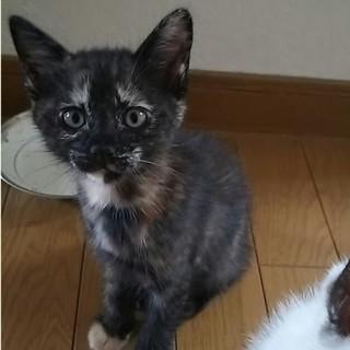 《急募》サビ柄子猫、生後1ヶ月《里親募集》