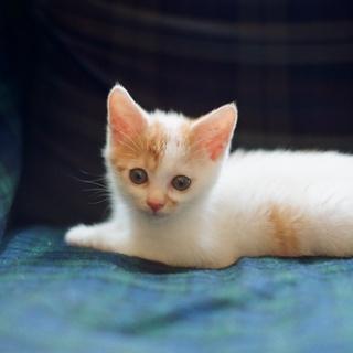 推定生後2ヶ月の子猫 里親募集