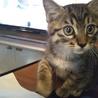 【生後2ヶ月未満】元気ハツラツな子猫です。
