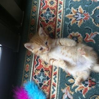 可愛い子猫貰って下さい