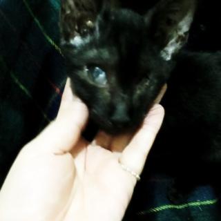 【急募】かぎしっぽのあまえんぼ子猫
