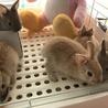 ※ツブアン様専用※ 生後一か月半のミニウサギ
