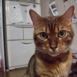 ベンガル猫のペコちゃん