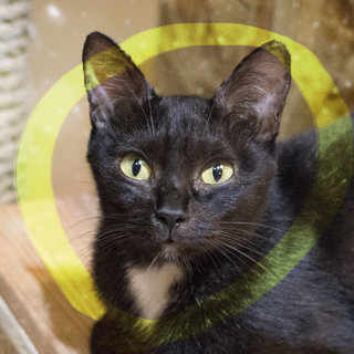 猫初心者様向け!超美人のヒママ♡黒猫1歳