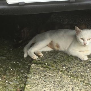 【急募】1〜2歳のネコです