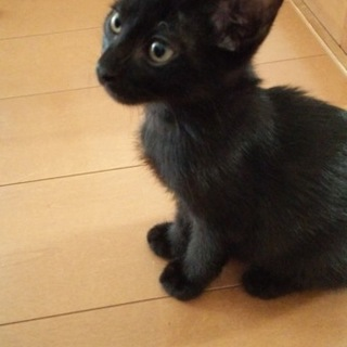 元気で人懐っこい黒猫子猫の男の子