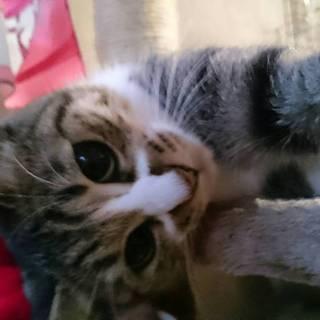 2歳メスの猫お譲りします。