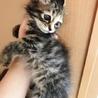 長毛の美猫、エレンちゃん  洋猫MIX