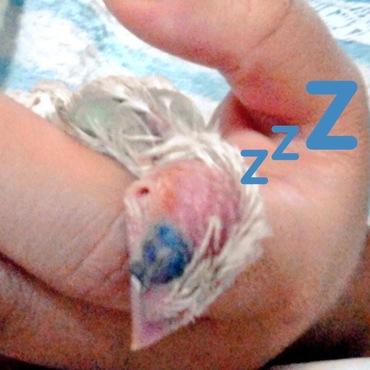 ぴーちゃんの小さい頃です。いつもこの眠り方でした!今もいこいこされるの大好きな甘えんぼさんです*ˊᵕˋ)੭