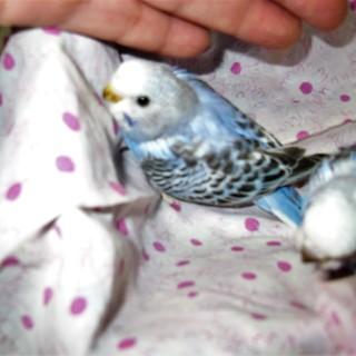 可愛い雛 若鳥 の里親様募集致します。