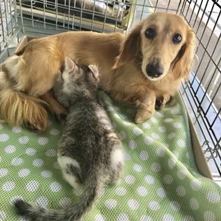 子猫に授乳するダックスフンド・子猫と一緒に