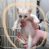 保健所にて里親募集中☆クリーム子猫☆期限は2か月!