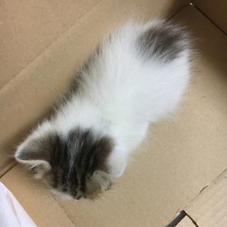 手のひらサイズ 赤ちゃん猫の里親探しています!