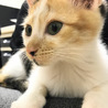 くっきりとした模様の三毛猫ナッツちゃん