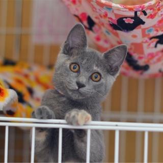 ロシアンブルー風美猫