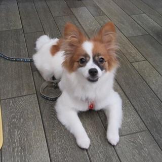 子犬「ライン」5か月女の子 パピヨン系雑種