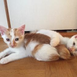 8月8日(火)子猫祭り里親会をやります!(別日のお見合いも可能!) サムネイル3