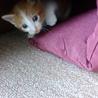 猫の里親を募集しています。 サムネイル3