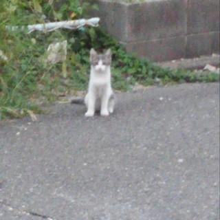 野良猫(子猫キジ白)