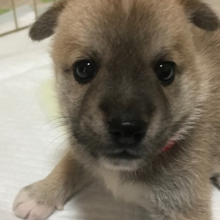 【 募集停止】生後1ヶ月位、雑種の仔犬の「もも♀」