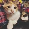 三毛猫のこむちちゃん
