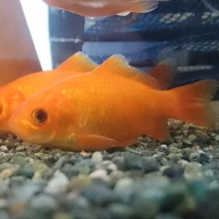 12cm程度の金魚オス2匹