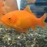 12cm程度の金魚メス2匹