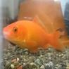 12cm程度の金魚メス2匹 サムネイル2