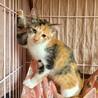 3ケ月☆可愛い三毛猫のアルミンちゃん サムネイル2