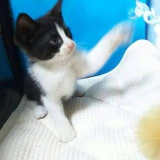 可愛い白黒子猫です☆