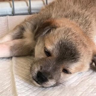 【募集停止】生後1ヶ月位、雑種の仔犬の「いろ♀」