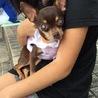 目が見えないルイスくん☆犬大好き☆チワワの男の子 サムネイル2